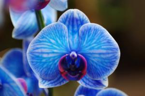 胡蝶蘭の花が青や水色の種類とは。癒しを与える爽やかさが魅力