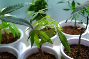 観葉植物の植え替え・パキラ編。土の選び方や手順とは?