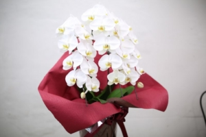 光触媒加工の胡蝶蘭とは?その効果と人気の理由、お手入れ方法