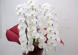 お供えに胡蝶蘭を贈るときのマナー、胡蝶蘭の選び方