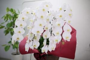 胡蝶蘭の花言葉はどんな意味 ?色別の意味や適したシーンもご紹介