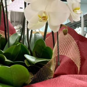 胡蝶蘭の日持ちはどれくらい?長く楽しむためのお手入れ方法まとめ