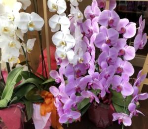 祝花には華やかな胡蝶蘭がオススメ!贈るマナーや相場は?