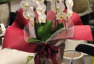 胡蝶蘭のラッピングはどうすればいい?シーン別おすすめラッピング