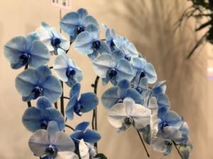 青い胡蝶蘭について!種類、花言葉、価格相場などをご紹介
