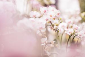仏花として胡蝶蘭をお供えしていいの?法要シーン別の贈り方