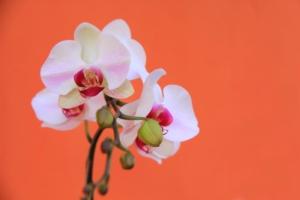 胡蝶蘭マザーチークはどんな花?特徴と贈り方のポイントを紹介