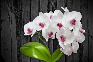可愛らしい姿が人気の胡蝶蘭ユミ。さまざまなお祝いシーンに贈ろう