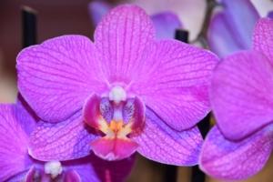 華やかな紫色の胡蝶蘭、その魅力と種類・喜ばれるシーンを解説!