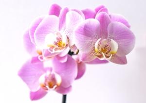 淡いピンクがとってもキュートな胡蝶蘭ランラン。人気の秘密は?