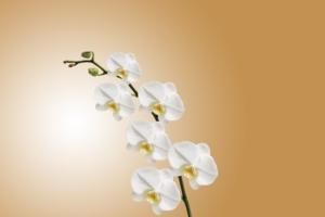 初心者におすすめの胡蝶蘭アマビリス。花の特徴と育て方のコツ