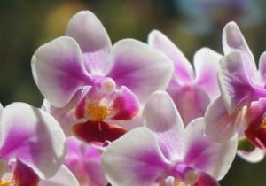 ピンクが可愛らしい胡蝶蘭リンゴホワイト。どんなシーンにおすすめ?