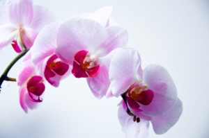 胡蝶蘭で緑色の花を咲かせる種類は?インパクトある爽やかな花ギフト