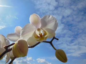 胡蝶蘭の中でも豪華で華やかな印象の鳳凰。人と差をつけられる贈り物