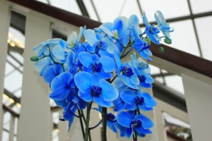 ブルー系胡蝶蘭の紫式部の魅力。花の特徴とギフトにぴったりな理由