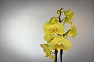 パッと目を引く黄色の胡蝶蘭アポロン。各種お祝いにおすすめ