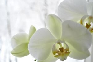 お祝いギフトの定番!胡蝶蘭ってどんな花?花言葉から育て方まで