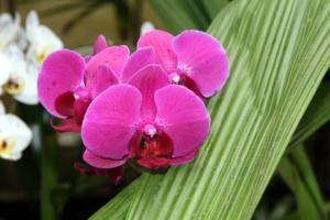 中輪胡蝶蘭の中で人気が高い満天紅。贈答用にも観賞用にもおすすめ