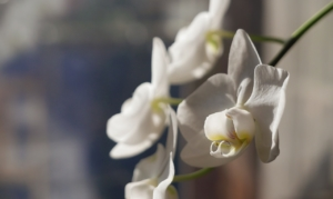 肥料で胡蝶蘭を元気に育てる!与え方のポイントやオススメ肥料は?