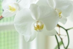 胡蝶蘭をラメで華やかに装飾。世界に1つだけの贈り物