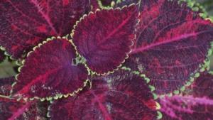 個性的な観葉植物なら紫の葉がおすすめ。植物の名前や特徴もご紹介