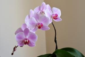 胡蝶蘭の中でもお祝い事に最適な赤リップ。おすすめシーンを紹介