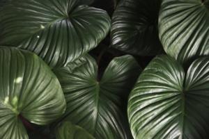 おすすめの観葉植物の種類で大きいものは?人気の大型観葉植物8選