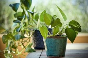 観葉植物がかかる病気を知ろう。風通しや害虫が原因のときの対策は?