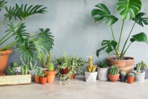 トロピカルな雰囲気が素敵な観葉植物、モンステラの育て方
