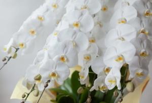 豪華な胡蝶蘭の5本立てで差をつけよう!相場や大きさはどれくらい?