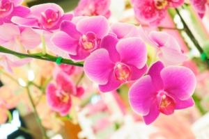 胡蝶蘭の人気色と選び方 白・ピンク・黄色など人気色をチェック!