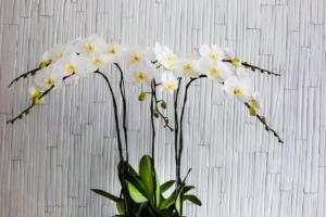 胡蝶蘭の値段と相場を知ろう!シーン・大きさ・色別に比較