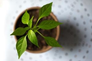 観葉植物につく白い虫の種類を解説。駆除の仕方と予防方法もご紹介