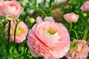 ラナンキュラスの花言葉|色・種類別の意味や由来、花束に人気の理由とは?