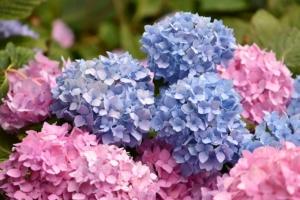 アジサイ(紫陽花)の剪定はどうやるの?手入れの仕方とコツを紹介