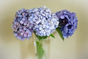 アジサイ(紫陽花)の種類と育て方を知ろう。剪定や増やし方も紹介