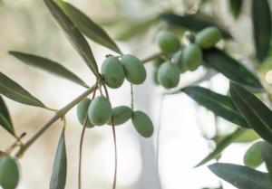 鉢植えオリーブの水やり方法と注意点。夏と冬では与える頻度が違う?