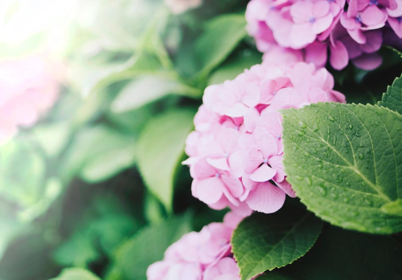 挿し木 仕方 の の 紫陽花