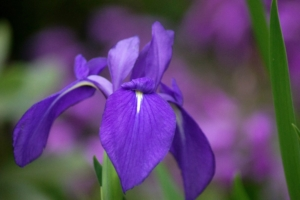 カキツバタ(燕子花)の花言葉は怖い?由来や誕生花、アヤメとの見分け方も解説