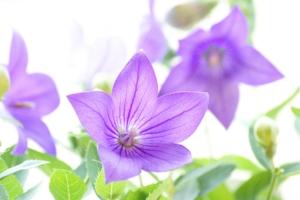 桔梗(キキョウ)の花言葉|色別、英語の意味や由来!怖い意味もある?