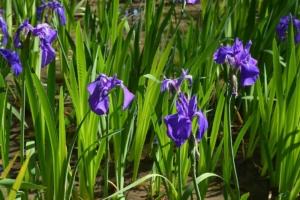 カキツバタ(燕子花)の特徴と育て方。アヤメやショウブとの見分け方は?
