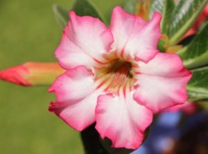 アデニウム(砂漠のバラ)の花言葉と由来|種類と特徴も紹介