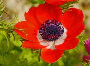 アネモネの花言葉と由来|色・種類別・英語の意味、誕生花は?怖い意味もある?