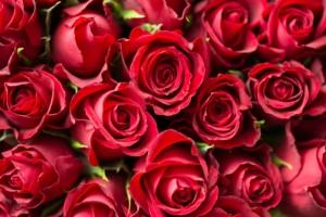 バラ(薔薇)の花言葉|色、本数別、英語の意味は?怖い意味もある?