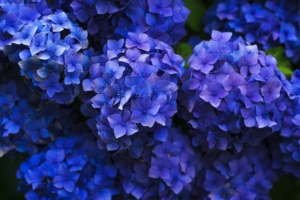 紫陽花(アジサイ)の花言葉と由来|色・種類別・英語の意味、花の特徴は?