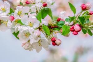 リンゴの花言葉(実・木・花)と由来|花の特徴や品種も紹介