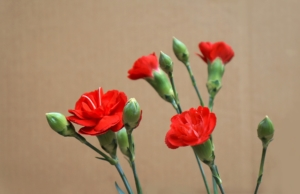 カーネーションの花言葉と由来!色別、本数別の意味も紹介