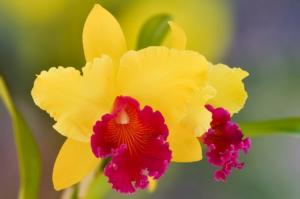 カトレアの花言葉と由来!色別、本数別、英語の花言葉も紹介