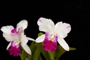 カトレアにはどんな種類がある?花の色や人気の品種を紹介