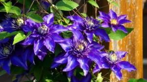 クレマチスとはどんな花?育て方からお手入れ方法。植え替えや寄せ植えも紹介